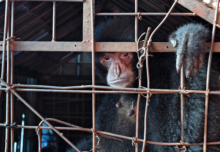 This siamang has spent her whole life in this cage, a vision that was a true nightmare. Craig Jones Wildlife Photography