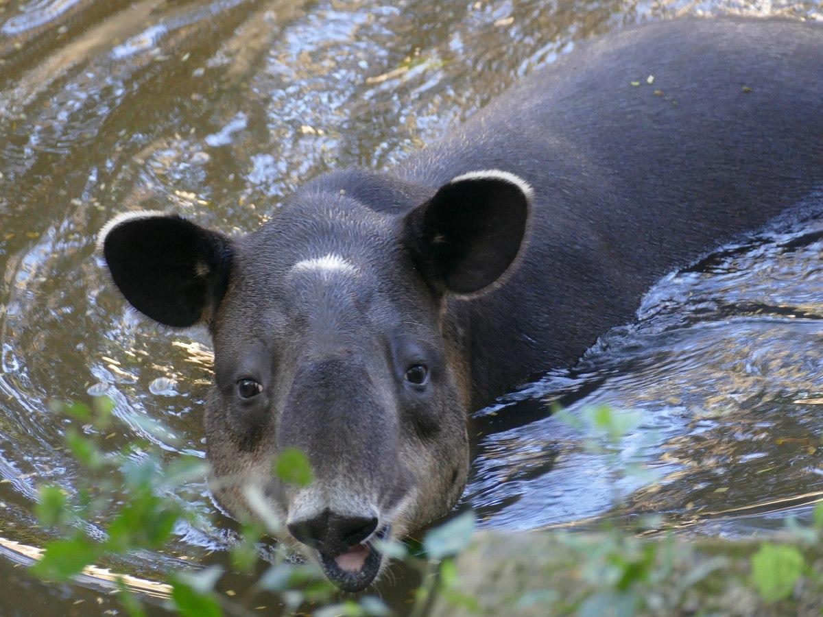Baird's Tapir Tapirus bairdii
