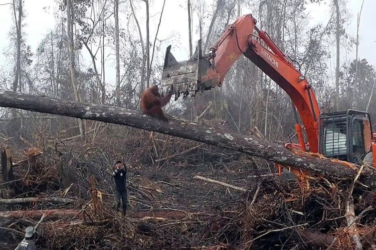 Orangutan defends her home deforestation