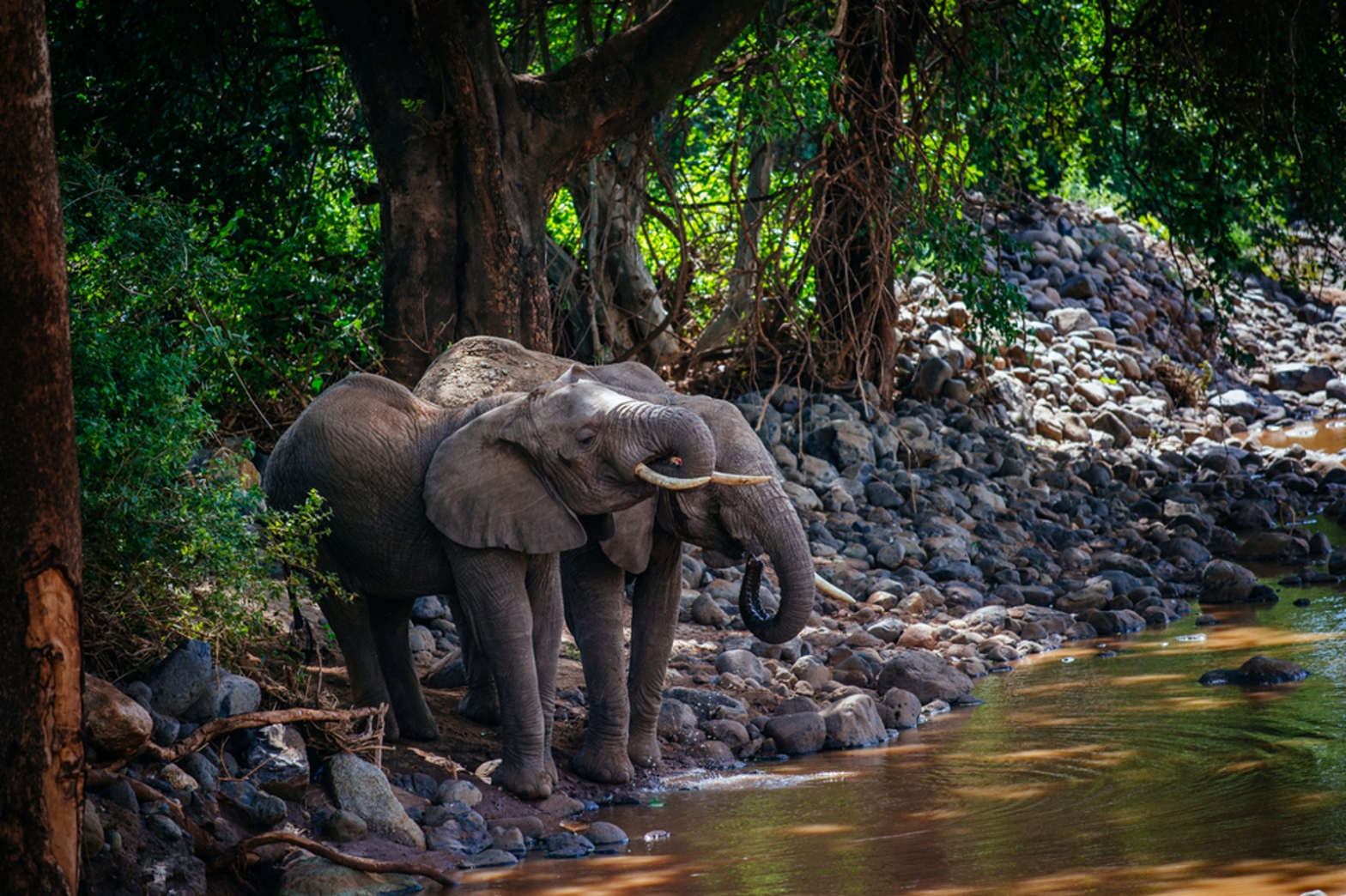 African Forest Elephant Loxodonta cyclotis