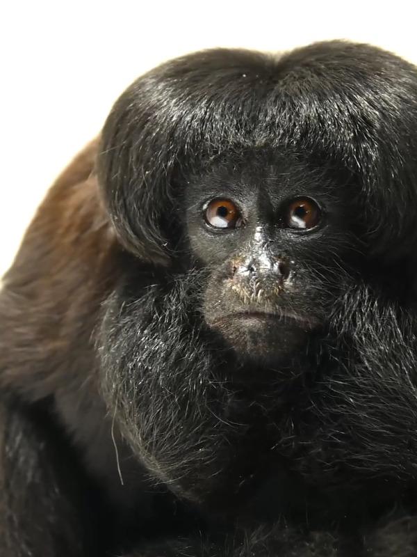 Black Bearded Saki Chiropotes satanas