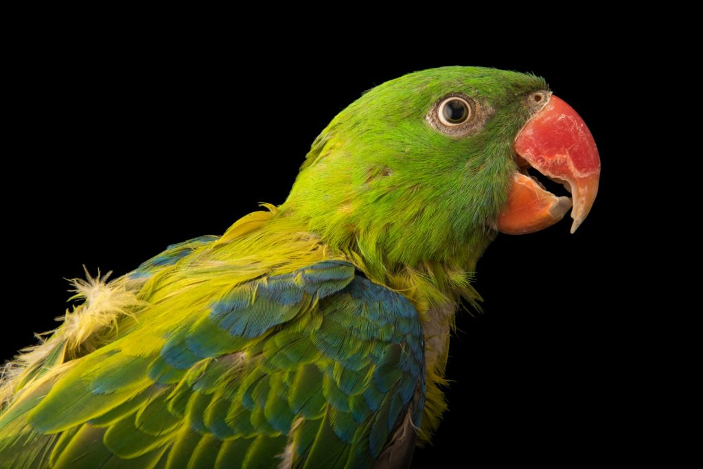 Blue-backed Parrot Tanygnathus everetti