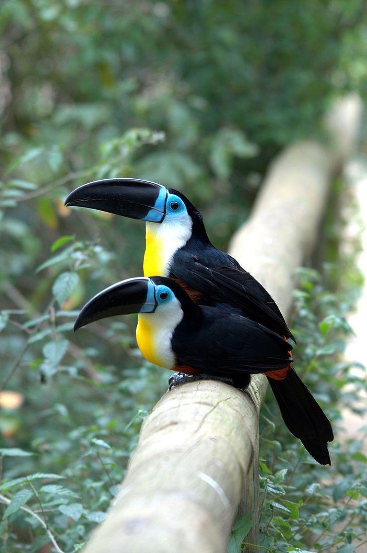 Channel-billed Toucan Ramphastos vitellinus