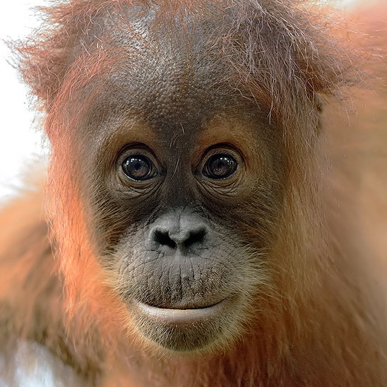 Orangutan baby named Craig, rescued from an RSPO certified palm oil plantation in Sumatra. By Craig Jones Wildlife Photography