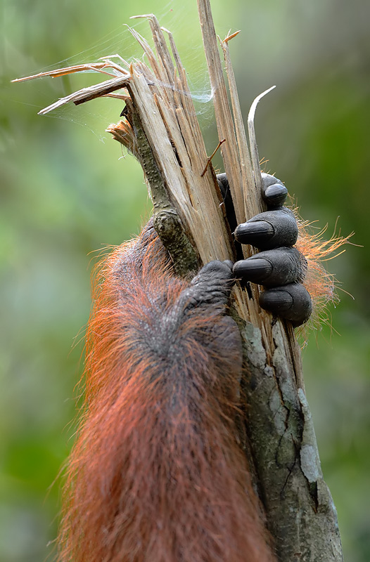 A Sumatran Orangutan clings to a broken tree. Craig Jones Wildlife Photography