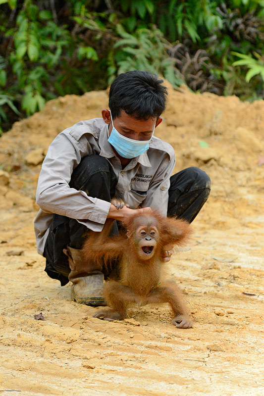 Orangutan baby screams at being separated from his mother on a newly destroyed forest in an RSPO member palm oil plantation. Craig Jones Wildlife Photography