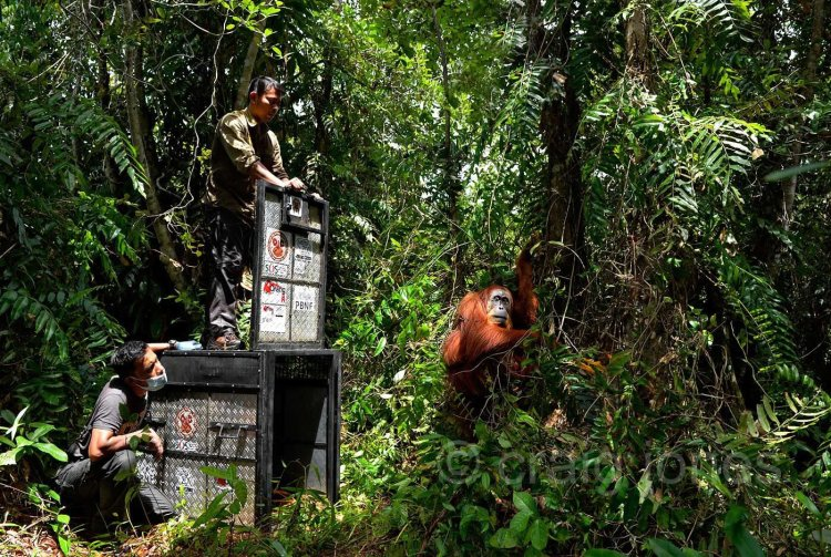 Mother and baby Sumatran orangutans are rescued from an RSPO member palm oil plantation. Craig Jones Wildlife Photography