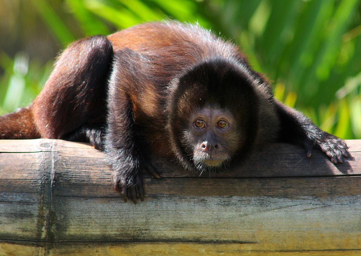 Crested Capuchin Sapajus robustus