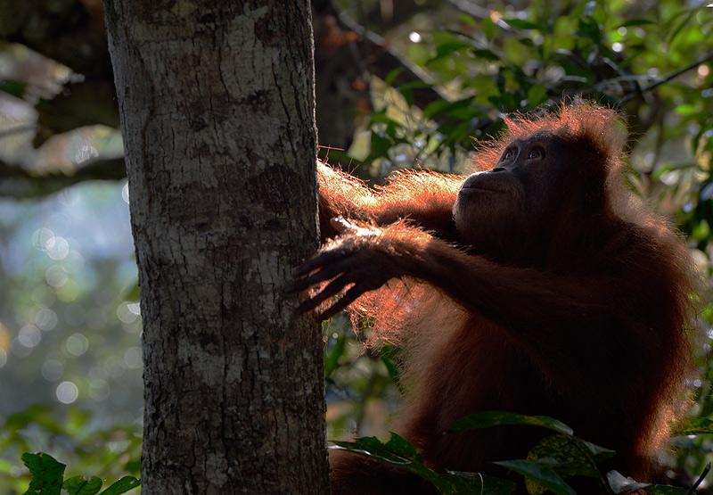 Female orangutan at dawn in the Sumatran jungle - Craig Jones Wildlife Photography