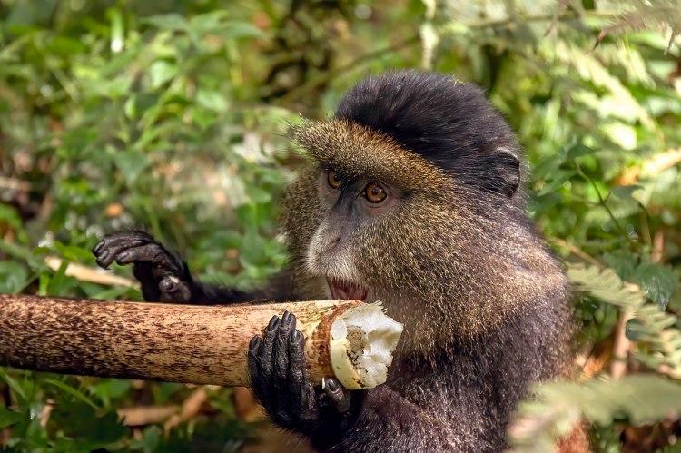 Golden Monkey Cercopithecus mitis ssp. kandti