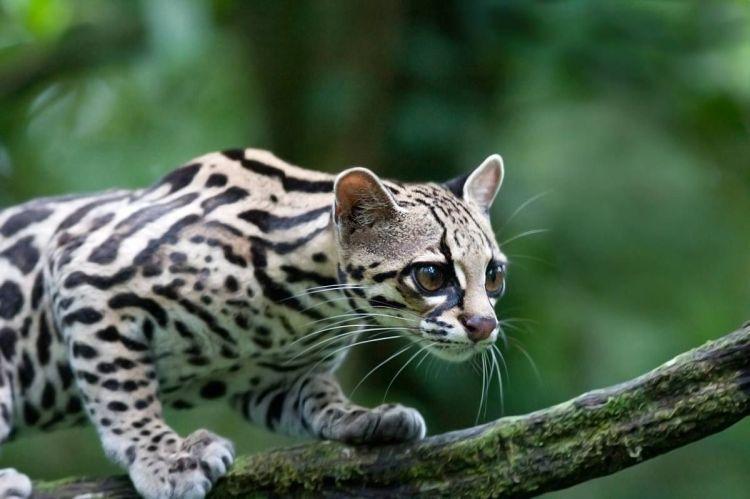 Northern Tiger Cat (Oncilla) Leopardus tigrinus