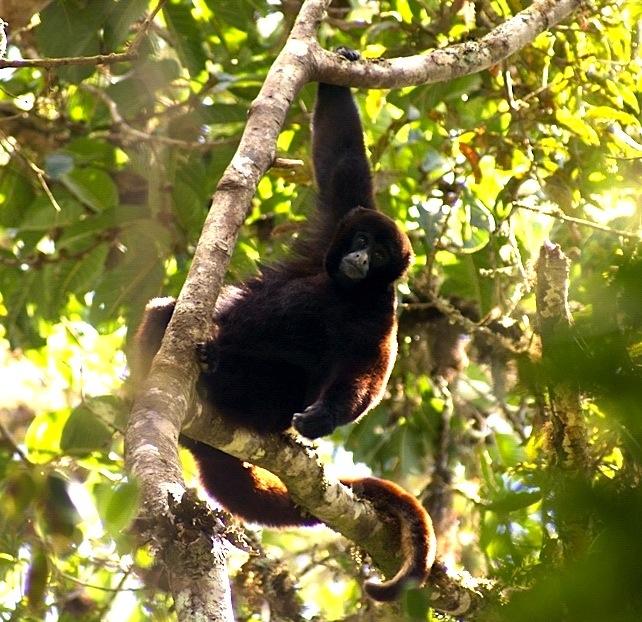 Peruvian Yellow-tailed Woolly Monkey Lagothrix flavicauda