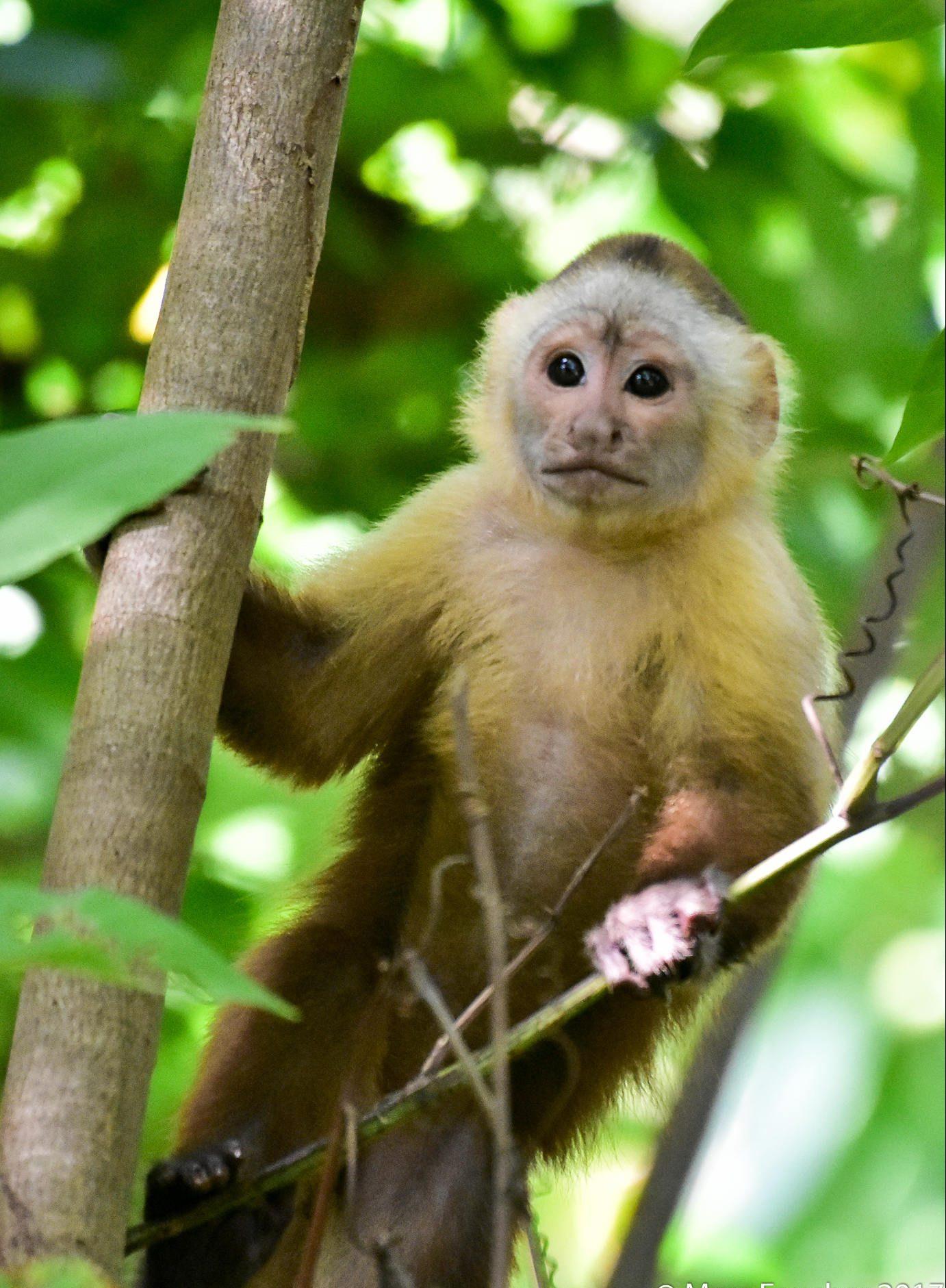 Santa Marta White-fronted Capuchin Cebus malitiosus