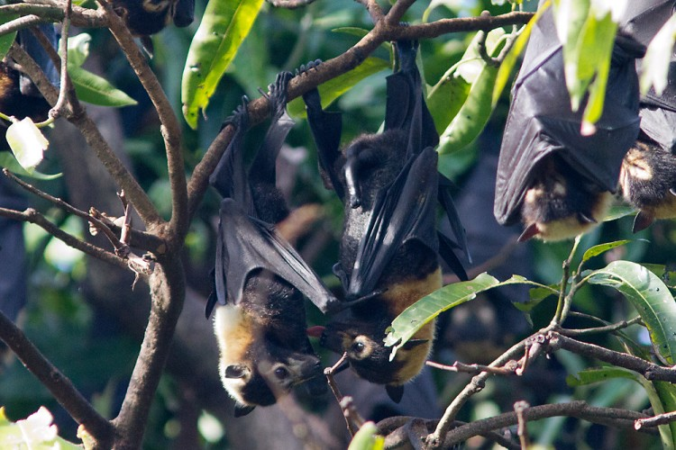 Spectacled Flying Fox Pteropus conspicillatus