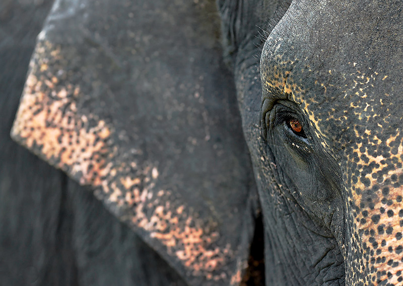 Spotlight on Sumatran Elephants - Craig Jones Wildlife Photography