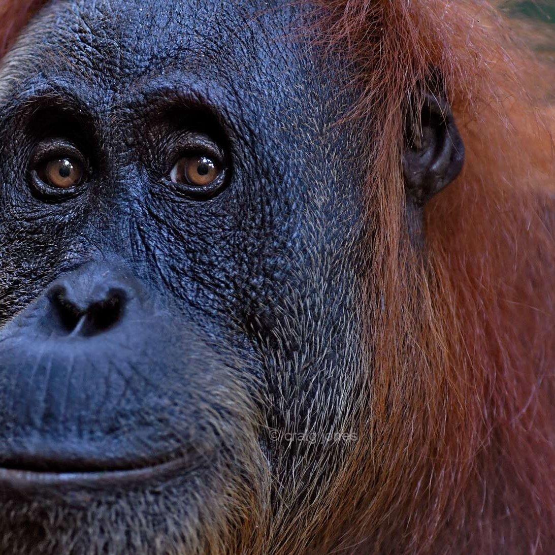 Sumatran orangutan close up. Craig Jones Wildlife Photography