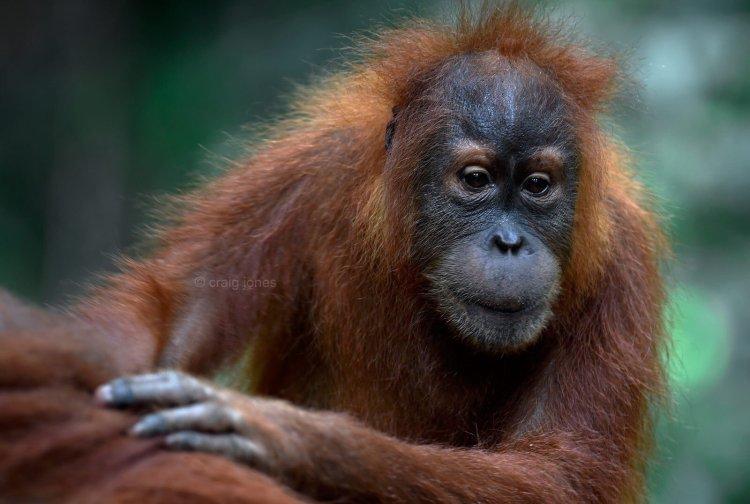 Wild Sumatran orangutan. Craig Jones Wildlife Photography