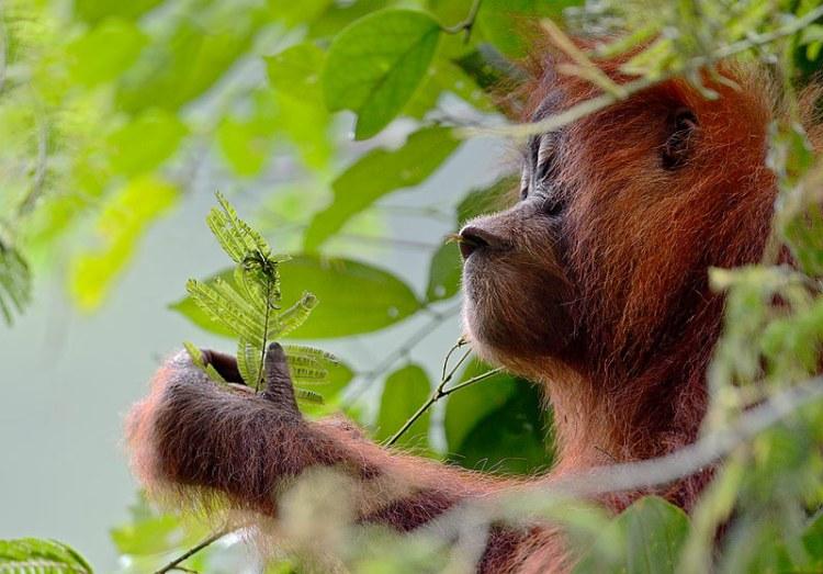 Sumatran orangutan enjoying leaves. Craig Jones Wildlife Photography