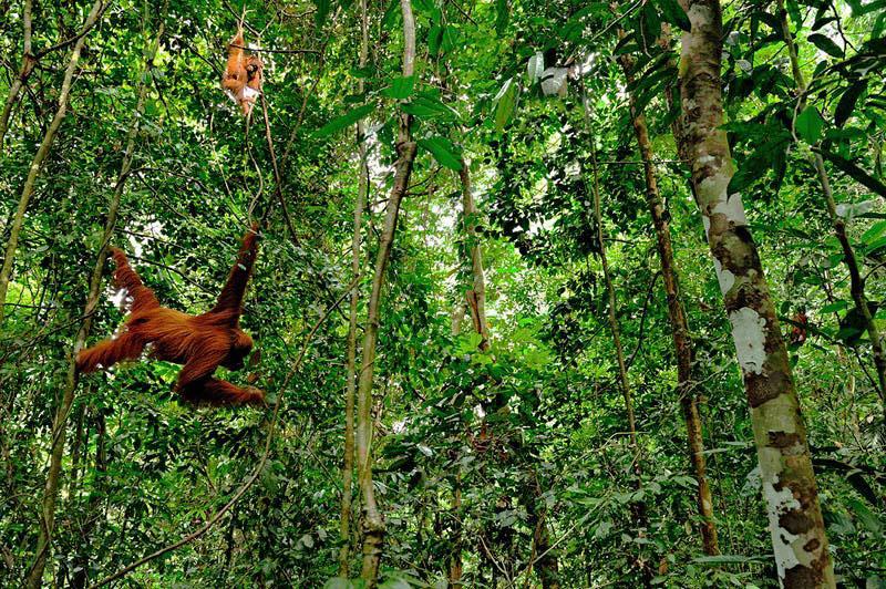 Sumatran Orangutan. Craig Jones Wildlife Photography