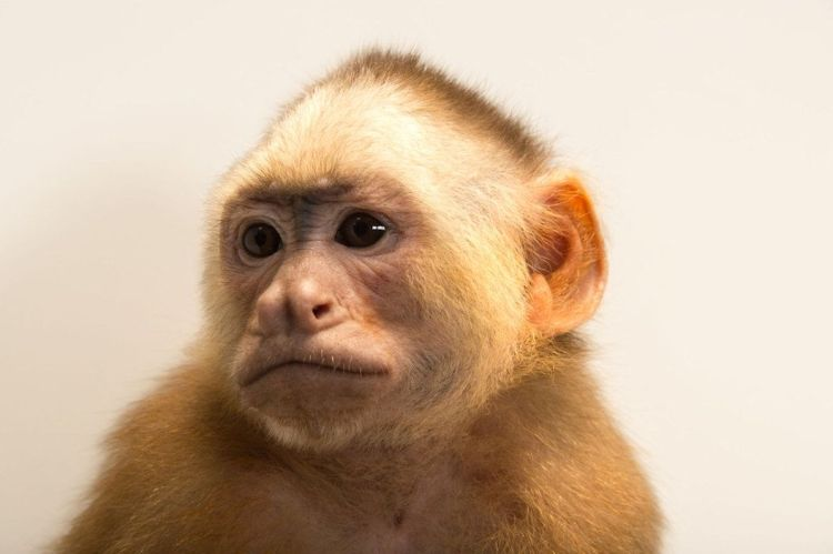 Varied White-fronted Capuchin Cebus versicolor