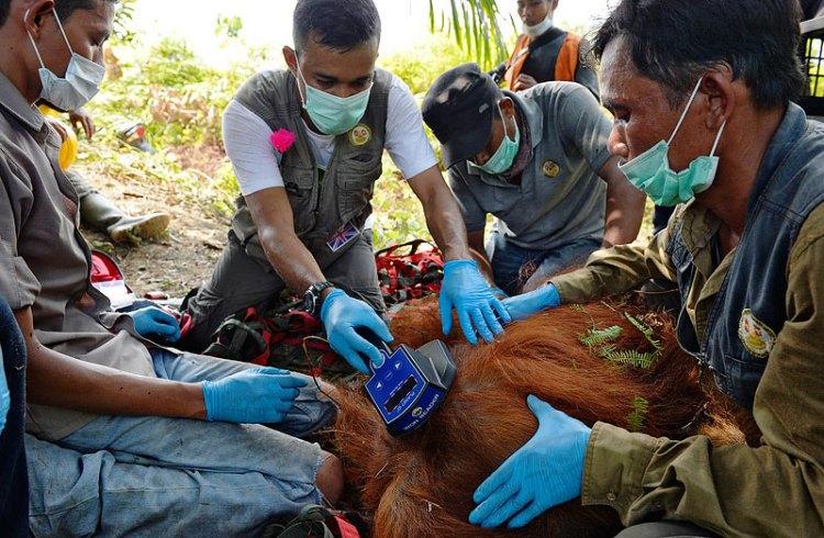 "Craig Jones Wildlife Photography - A Sumatran Orangutan on the verge of death is saved from an RSPO ""sustainable"" palm oil plantation"