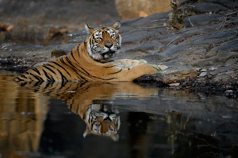 Craig Jones Wildlife Photography - A Bengal tiger relaxes at a river side