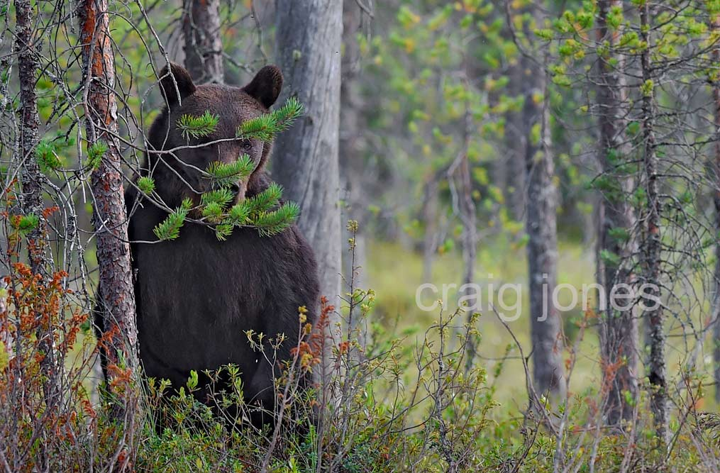 Craig Jones Wildlife Photography - A Brown Bear hides behind a tree