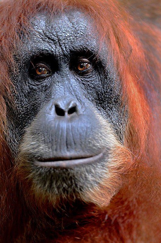 Craig Jones Wildlife Photography - Sumatran Orangutan
