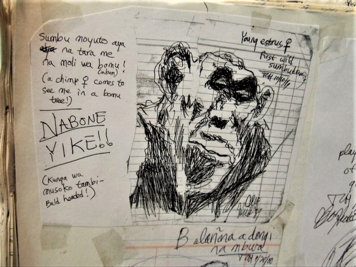From my field notes. Drawing a wild chimpanzee in Mondika, 1999. Dr Cleve Hicks