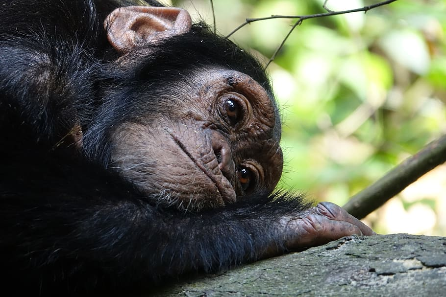 A wild chimpanzee rests on the ground. Photo: PX Fuel