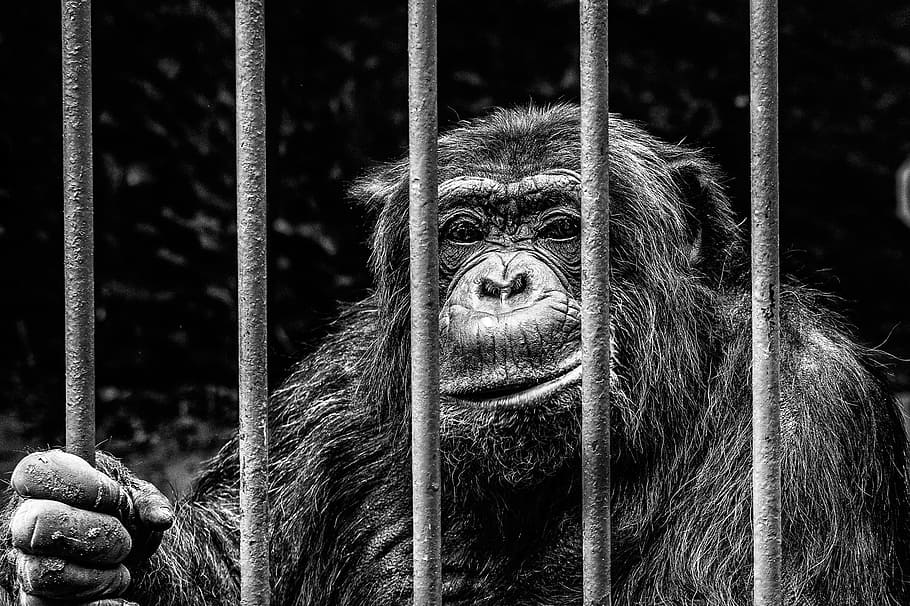 Chimpanzees are at increased risk of being poaching or becoming a part of the illegal pet trade, when deforestation opens up parts of the jungle. Photo: https://www.pxfuel.com/