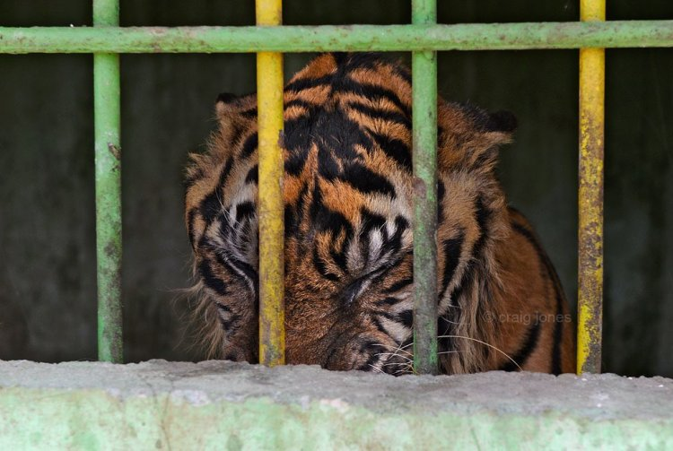 A Sumatran tiger help in a tiny cage struggles to stay alive. Craig Jones Wildlife photography