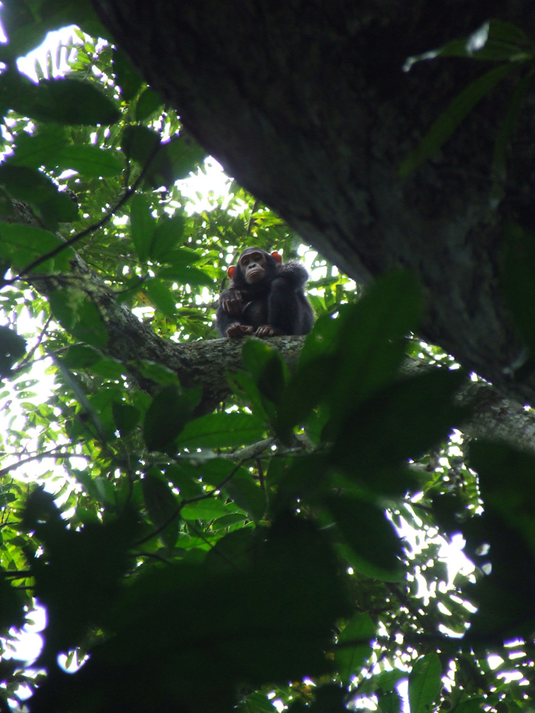 Young Bili chimpanzee in the Gangu Forest, 2006. Photo: Dr Cleve Hicks
