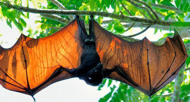 A winged seed sower of the rainforest: Megabat Acerodon jubatus, a giant flying fox.