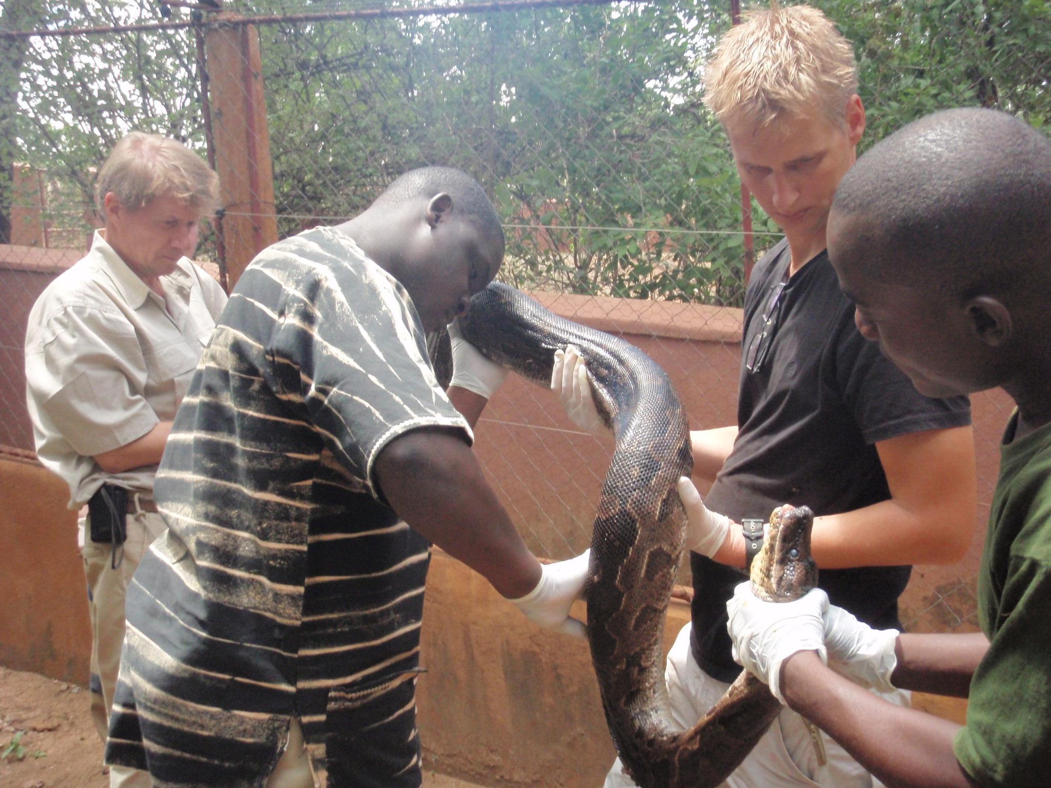 Dr Ssuna helps a sick python