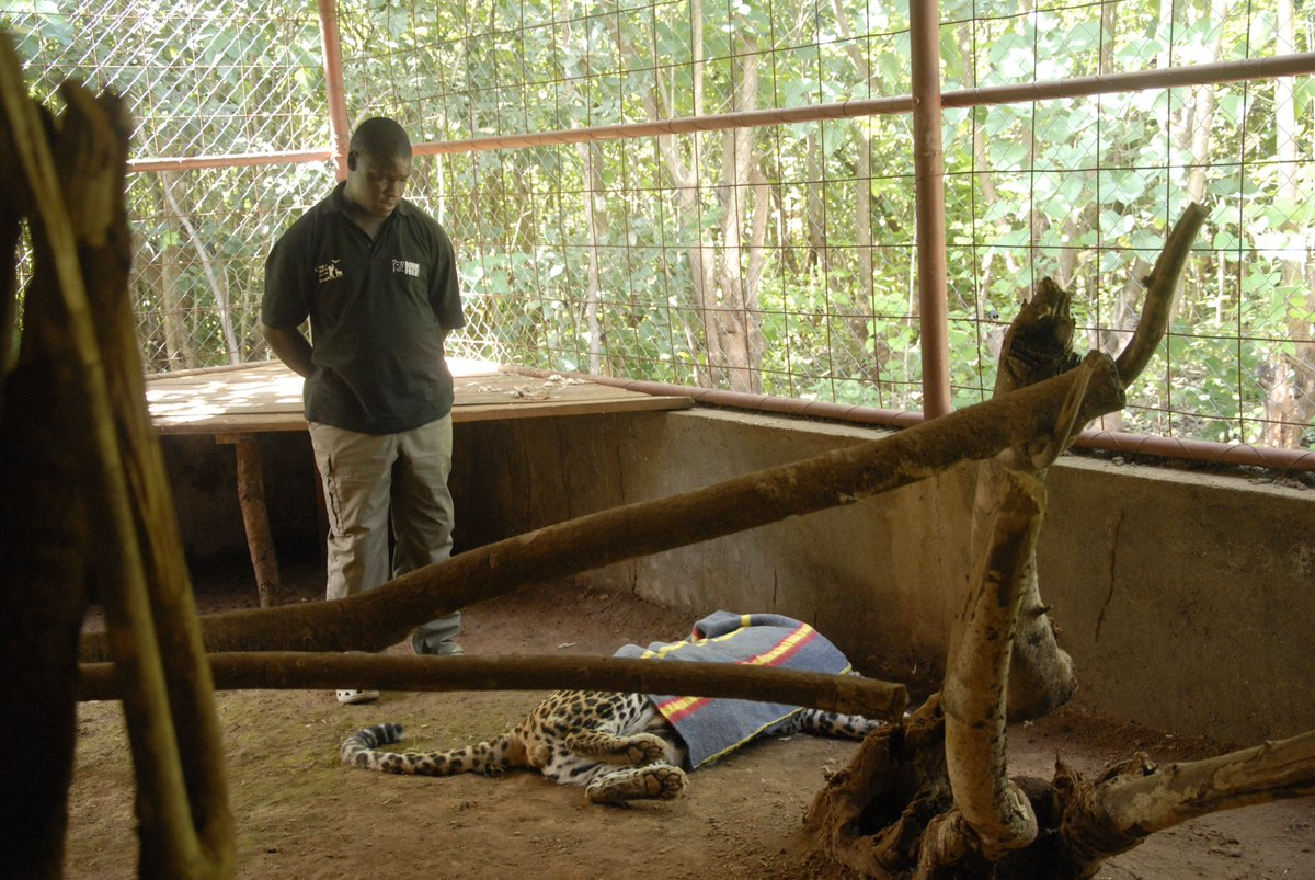 Richard helps a leopard with arthritis