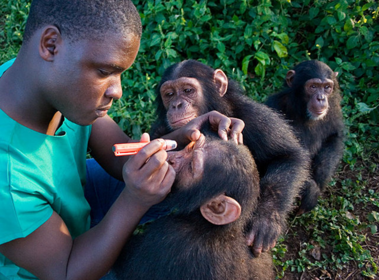 Dr Ssuna helps some chimp orphans