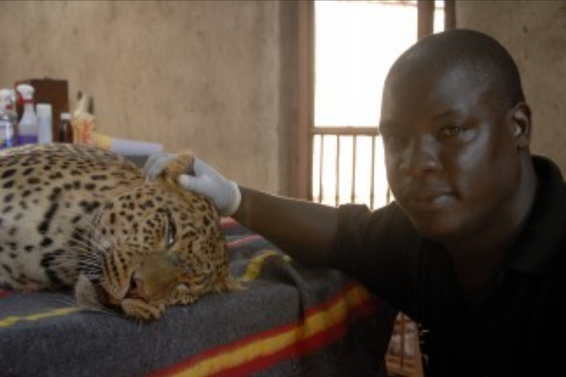 Dr Ssuna helps a leopard with arthritis.